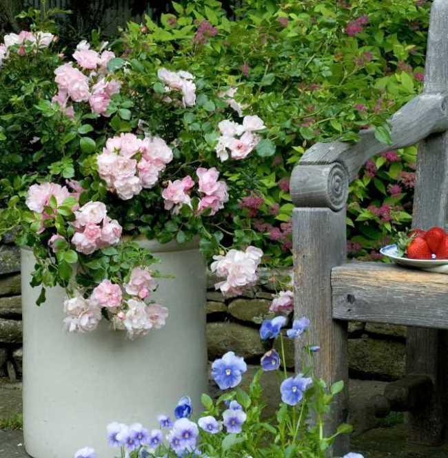 Королевы сада: как выращивать розы в контейнерах